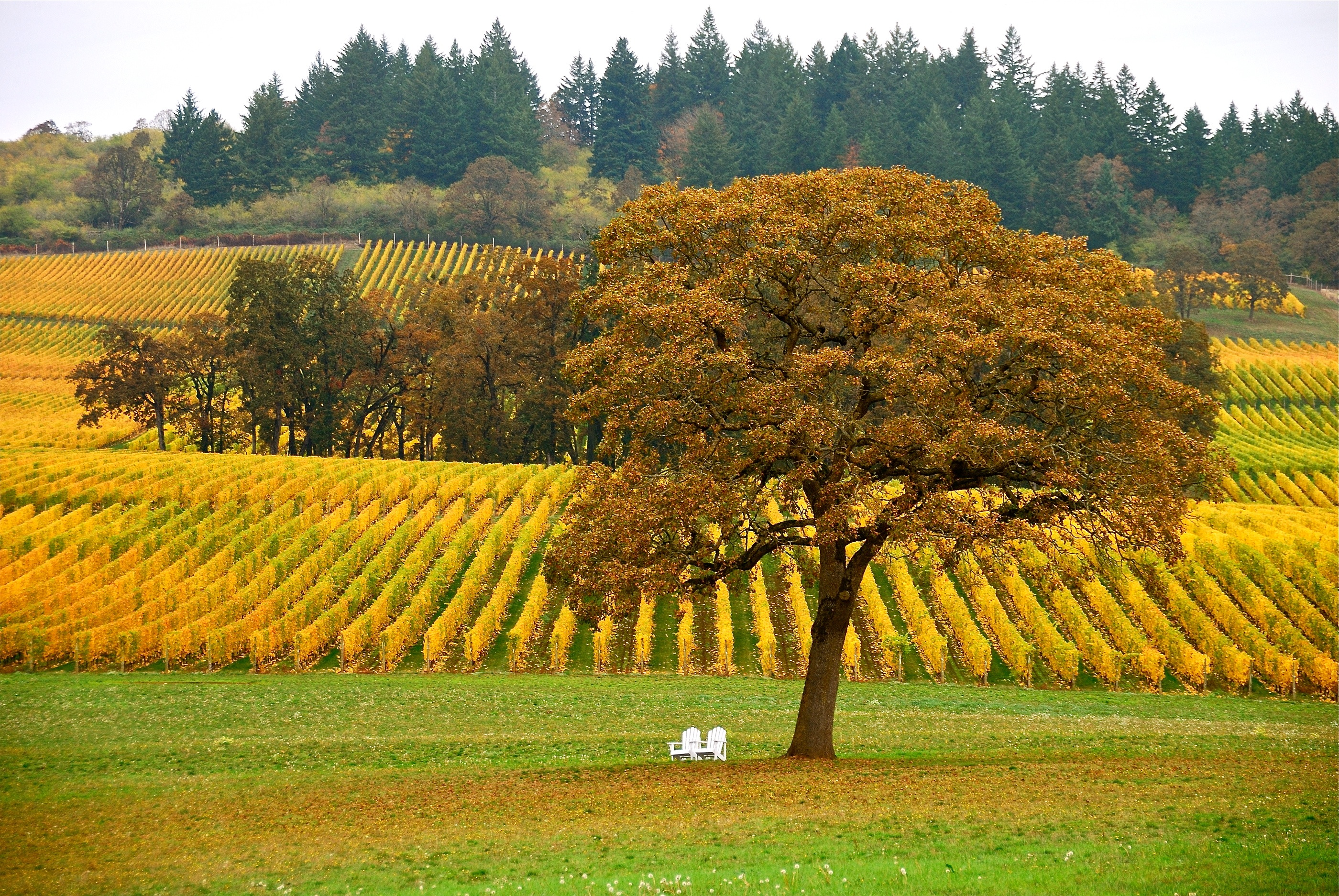 Oregon Lombardi Vineyard in the dall